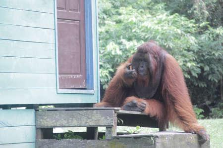 big orangutan ape sit in front of the door of residents' houses