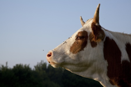 closeup of a cow showing atitude on a sky background Stock Photo - 9909844