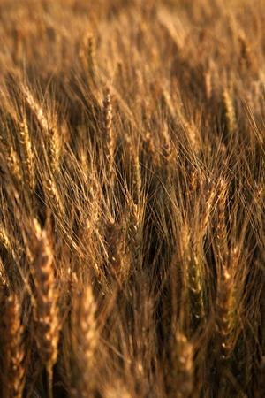 close up of ripe red wheat taken at sunset