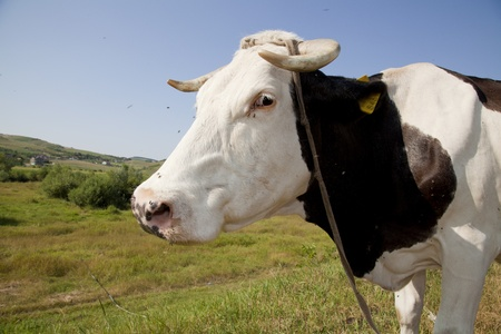 close up of a black and white cow on a meadow Stock Photo - 10018487