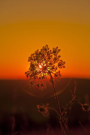 white single flower facing a red sunset