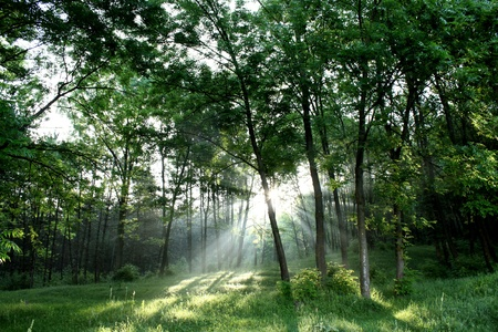 restful: beautifull green forest with bright light bursting through the branches