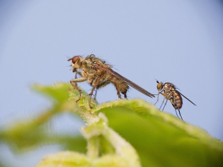 macro of a fly couple standing on a leaf preparing to mate