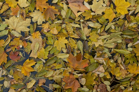 bright yellow autumn leaf background in water Stock Photo