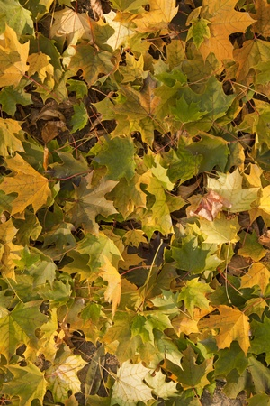 autumn leaf backgound with dry bright maple leaves on the ground Stock Photo