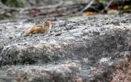 small chipmunk on a stone wall near a forest Stock Photo