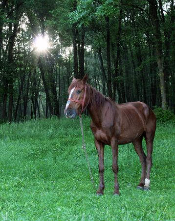 Horse standing on the edge of romanian forest