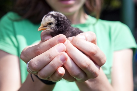 Baby chicken held in a human hand sleepy Stock Photo - 13921970