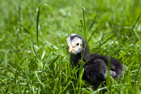 black baby chicken in long green grass staring at the camera Stock Photo - 13922039
