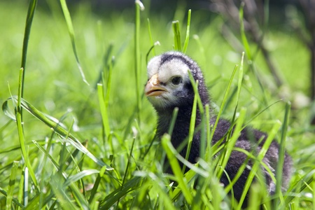 black baby chicken in long green grass staring at the camera
