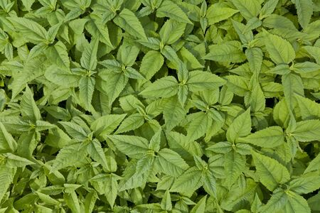 green leaf plant background with many young bushes