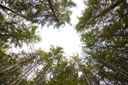 pine forest with sky on the background Stock Photo - 16058379