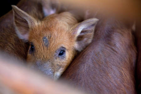 cuddled: baby red pigs looking at the camera