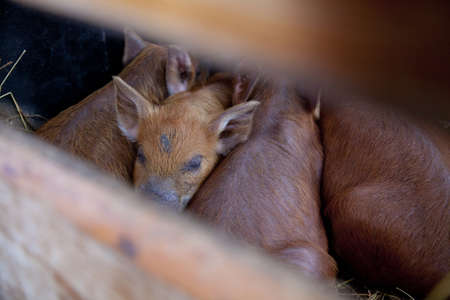 baby red pigs sleeping close to each other Stock Photo - 16058380