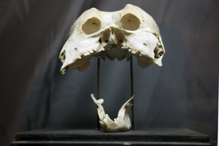 strange animal skull joined from siamese twins Stock Photo - 16162280