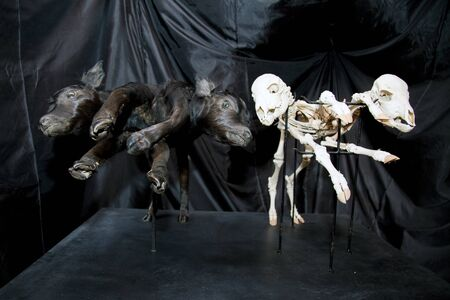 strange scarry joined cow baby skeletons isolated on black background Stock Photo - 16162283