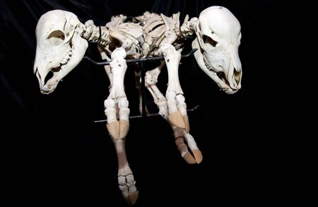 strange scarry joined cow baby skeletons isolated on black background Stock Photo - 16162275