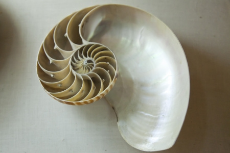 nautilus shell section on a grey background in a museum Stock Photo