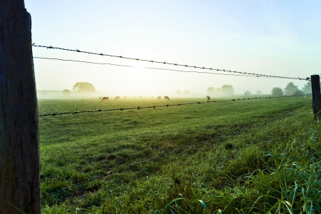 cows grazing within a fence at sunset on a green pasture Stock Photo