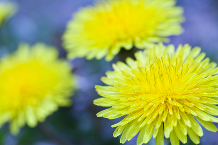 close up of yellow dandelion