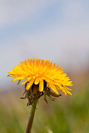 single dandelion on a plain background with grass