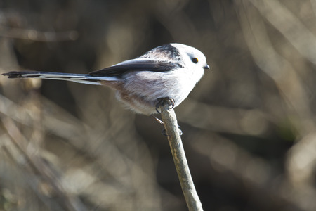 tailed: Isolated long tailed tit