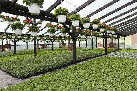 fuschias: young plants on the ground and hanged in a greenhouse