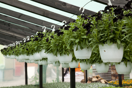 hanged black flowers in plastic containers in a greenhouse
