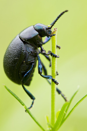 Black beetle on grass isolated on green background