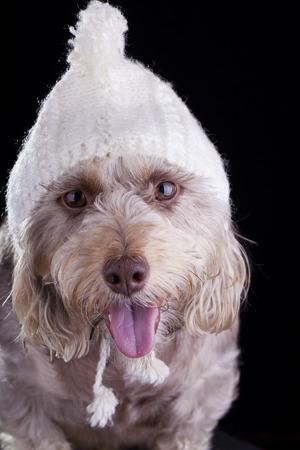white dog with hat staring at camera closeup