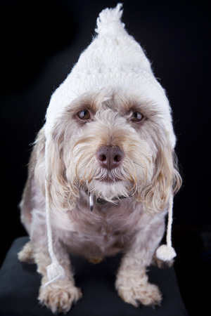cute small dog with winter hat staring at camera Stock Photo