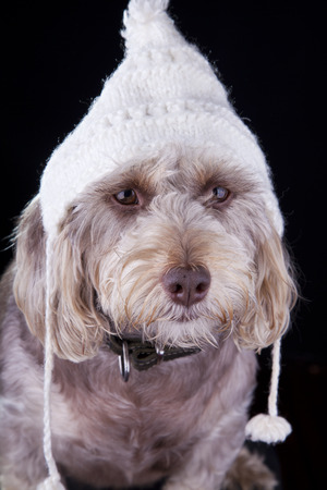 white dog with winter hat looking away on black background