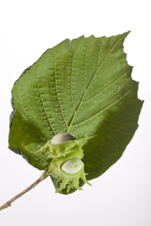 green hazelnuts with a leaf isolated on white