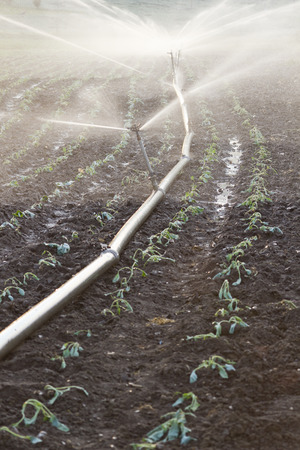sprinklers with water on a cabbage field at sunset Stock Photo
