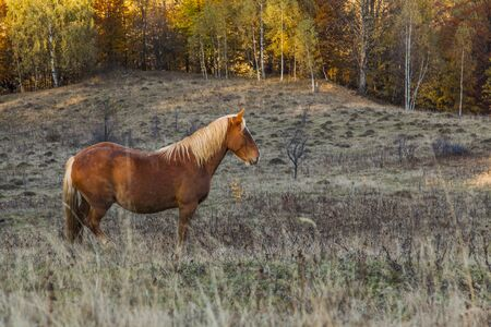 lone horse on a hill at sunset with forest in background Stock Photo