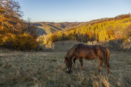 horse grazing at sunset with autumn forest in background