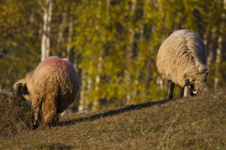 sheep grazing at sunset on meadow with orange trees in background