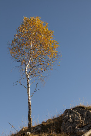 autumn birch tree alone on blue clear sky