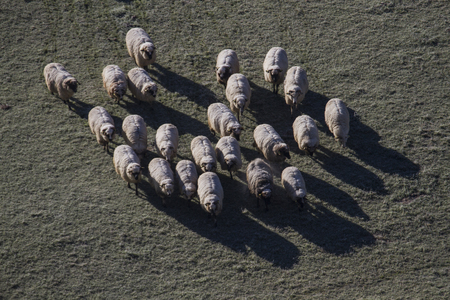 aerial view of sheep herd on grass meadow at sunrise Stock Photo