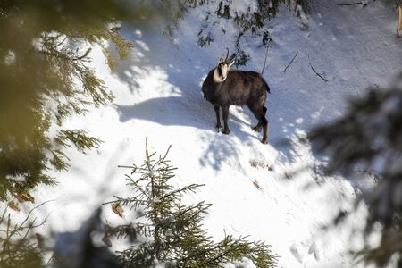 chamois in winter coat staring at camera on snow with shadow
