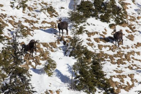 black goat chamois herd on sunny winter day in winter coat