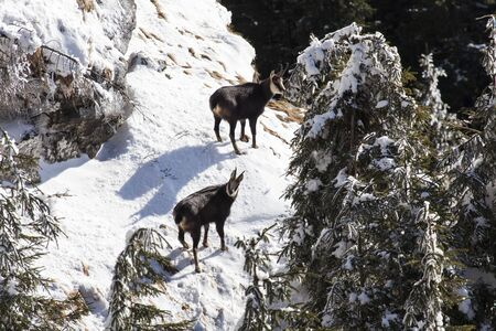 chamois pair on snowy mountain top in romanian mountains