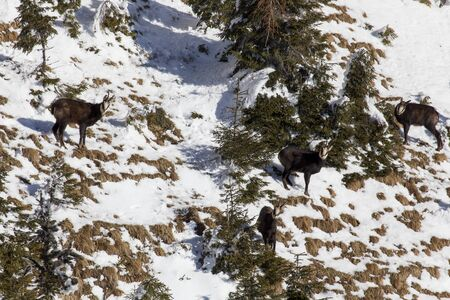 chamois black wild goat herd staring at camera on sunny winter day with snow