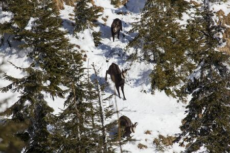 black goat chamois running down slope in winter snow Stock Photo