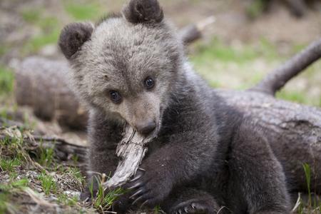 Adorable cute baby bear cub biting piece of wood looking at camera