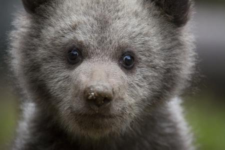 Adorable small baby bear close-up looking at camera Stock Photo
