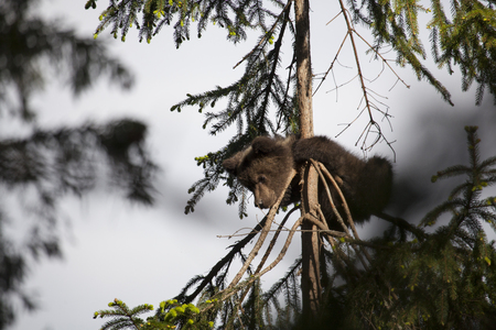 scared bear cub stuck in a spruce tree holding tight in thick vegetation
