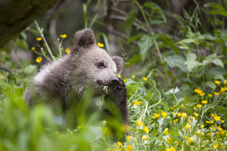 bear cub scratching head with plant in mouth in green, yellow bright sunny meadow Stock Photo