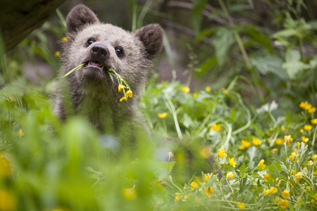 baby bear holding flower in bright green yellow plant meadow in sunny day looking at camera Stock Photo