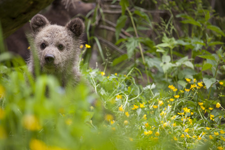 baby bear in flower field with green bright yellow plant and meadow on sunny day Stock Photo